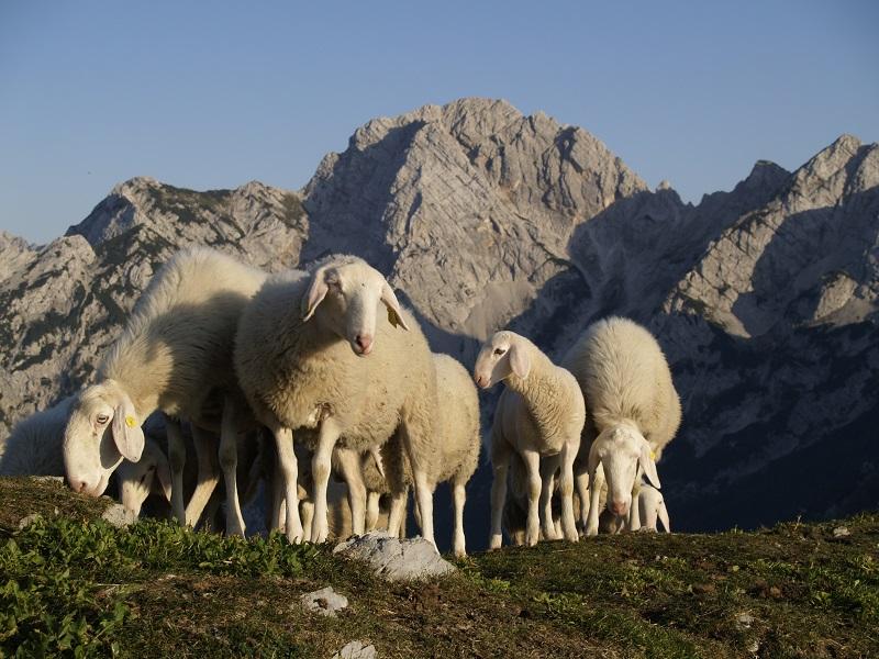 Jezersko - Solčavska ovca - FOTO: DREJC KARNIČAR
